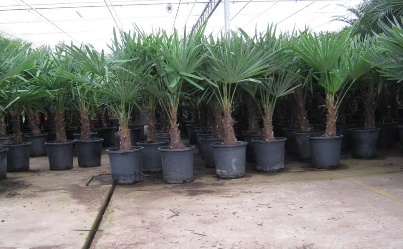 Winterharde palmbomen in de tuin!